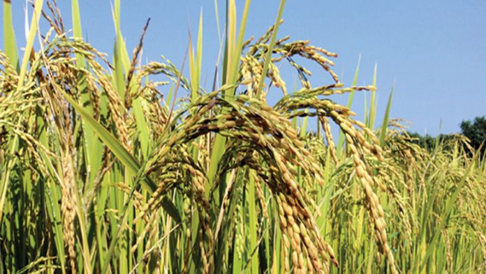 जुम्लाका रैथाने कृषि उपजको माग बढ्दो, उत्पादन घट्दो